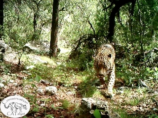 US' only known jaguar filmed in rare video