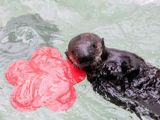 Rescued sea otter pup arrives at Shedd Aquarium