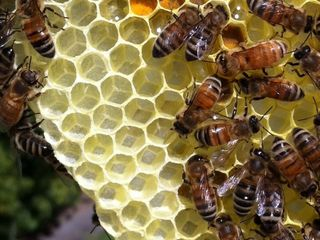 A swarm of bees kills a hiker in Arizona