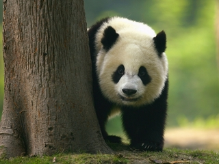 Giant pandas could be taken off endangered list