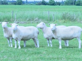 Why Dolly the sheep's 'sisters' matter