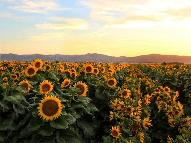 Sunflowers and Circadian Rhythm