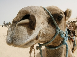Strain of common cold might come from camels