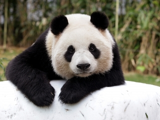 The panda population is perking up