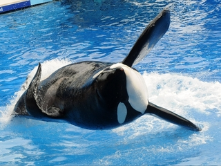 California bans orca breeding and performance