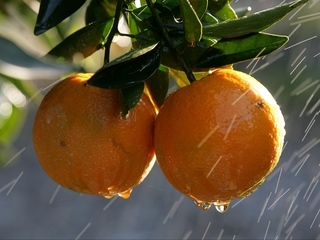 Orange production drops in Florida for 2016