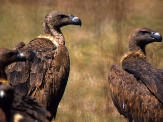 Vultures are critically endangered