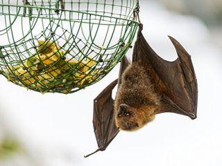 Miami official suggests bats to fight Zika