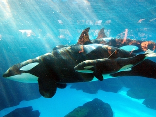 SeaWorld San Diego has its last Shamu show