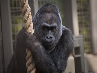 Colo, oldest gorilla on record, dies at 60