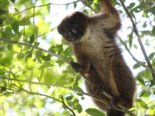 Scientists create facial recognition for lemurs