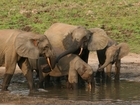 Poachers are killing vulnerable forest elephants
