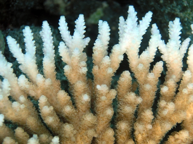 Severe bleaching killing Great Barrier Reef