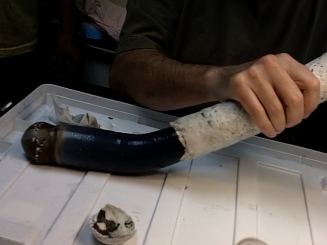 Scientists find first live specimen of fabled giant shipworm