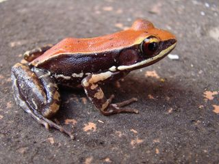 A frog's slime could help kill the flu virus