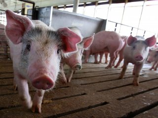 Pig-to-human organ transplants may be possible