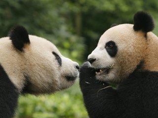 Giant pandas have less habitat than 30 years ago