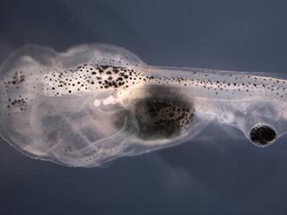 Scientists put eyeballs on tadpole tails — again