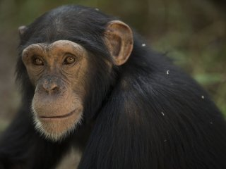 Chimps can alert others of dangerous situations