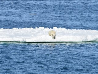 Melting sea ice can tax polar bears' energy