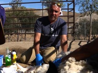 'The Dog Whisperer' takes in rescued livestock